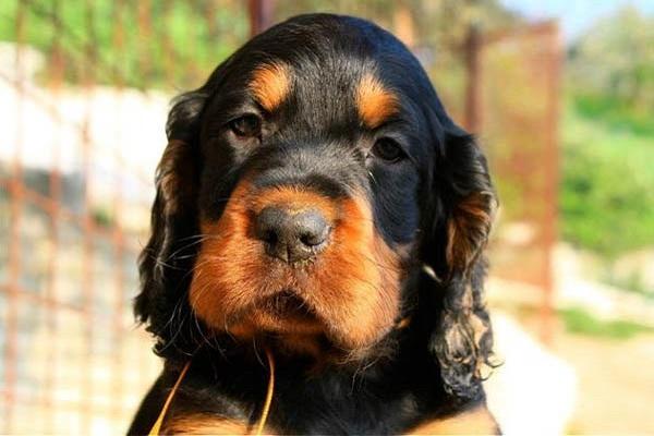cane setter scozzese