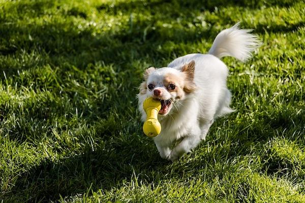cucciolo di cane corre nel prato e gioca