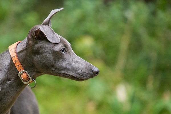 cane whippet osserva la preda