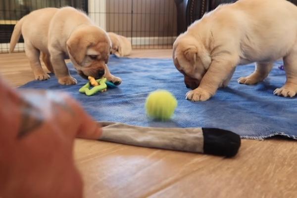 Cuccioli di Labrador e giocattoli: li scoprono per la prima volta e sono carinissimi (Video)