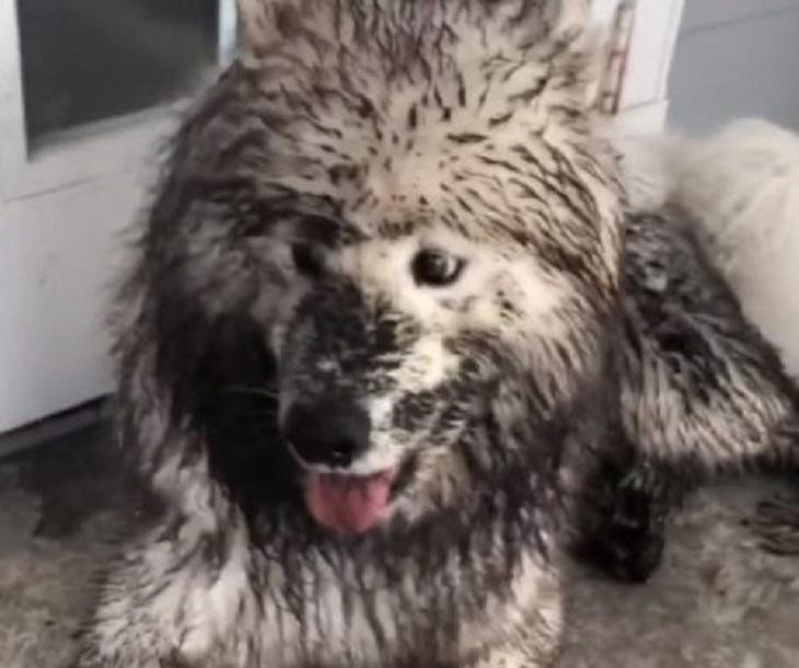 Cuccioli samoiedo combinano un vero disastro in giardino (VIDEO)