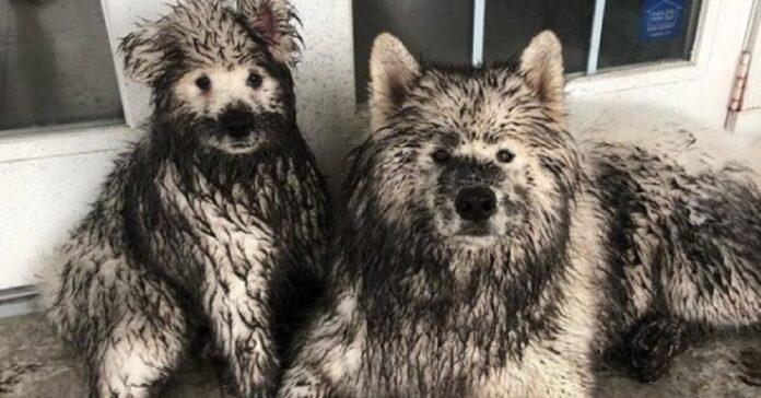 cuccioli samoiedo combinano disastro giardino