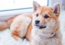 cucciolo di cane che fissa il vuoto