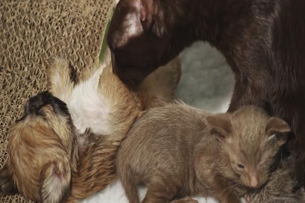 Cucciolo di cane adottato da mamma gatto: la storia tenerissima