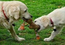 cucciolo di cane gioca con giocattolo preferito