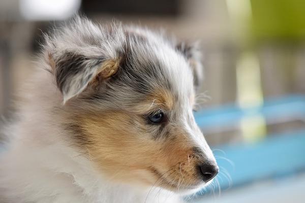 Cucciolo di cane non vuole compagnia e si isola: che significa?