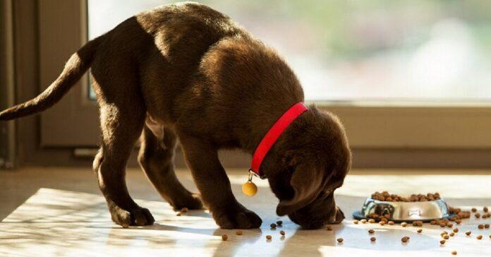 cucciolo di cane che mangia
