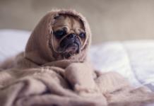 cucciolo di cane sotto le coperte