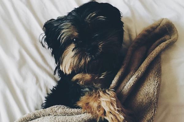 Cucciolo di cane sotto le coperte: perché vuole stare sempre lì?