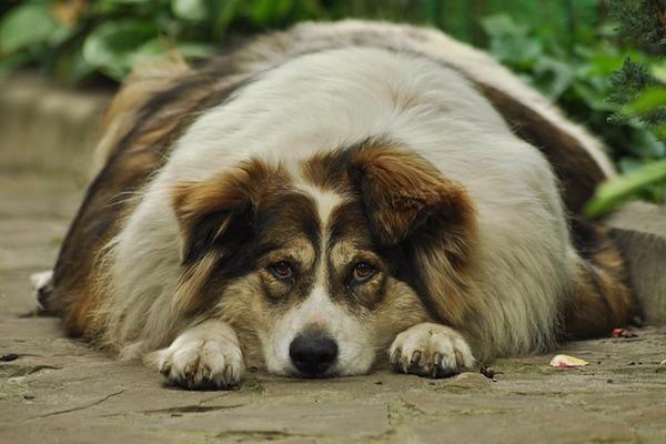 cucciolo di cane grasso aiuto