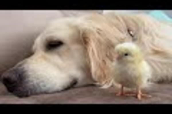Golden Retriever incontra un pulcino per la prima volta: ed è subito tenerezza - VIDEO
