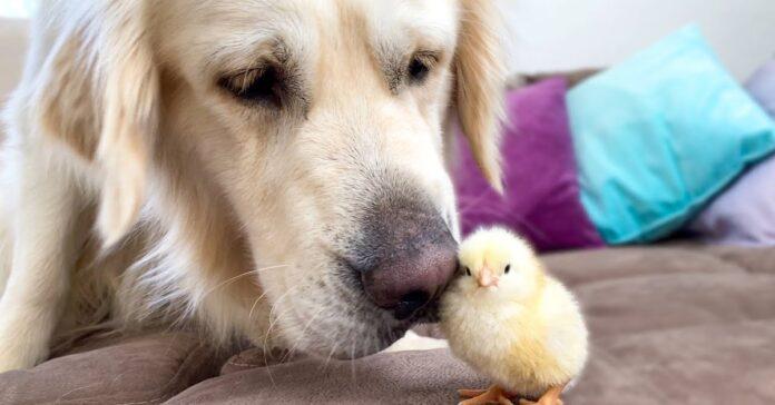 cane e pulcino