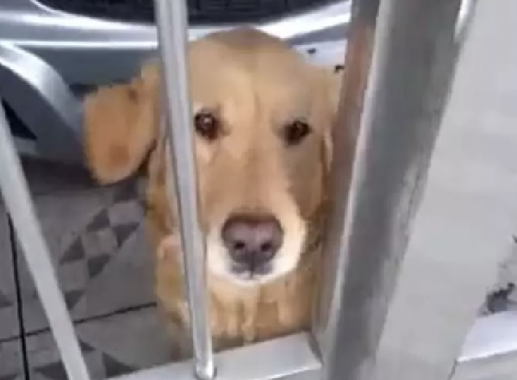 Golden retriever va al supermercato a prendere il pane (VIDEO)