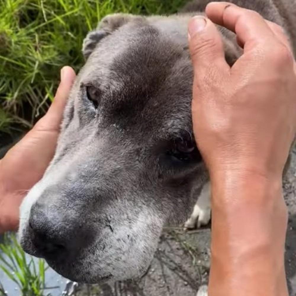 Il salvataggio del cane randagio esausto in autostrada (VIDEO)