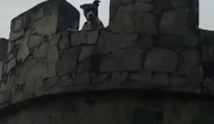 Il salvataggio del pitbull legato in cima ad una torre (VIDEO)