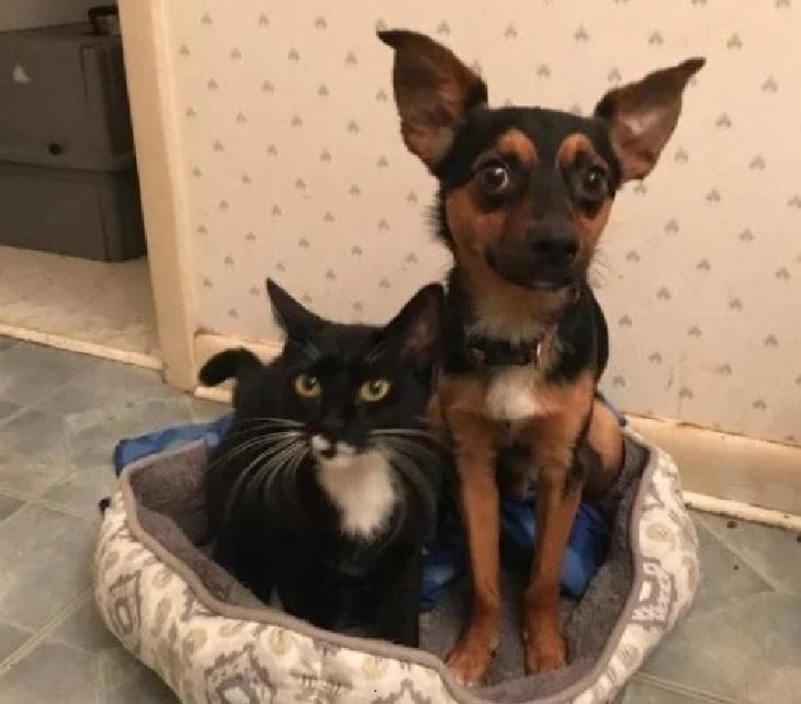 Il salvataggio di un chihuahua mix e di un gatto tuxedo (VIDEO)
