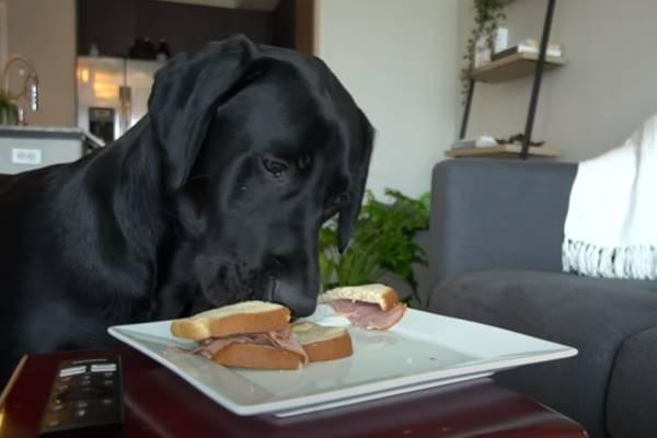 Labrador messo alla prova dal suo padrone: la Good Boy Challenge è da ridere (VIDEO)