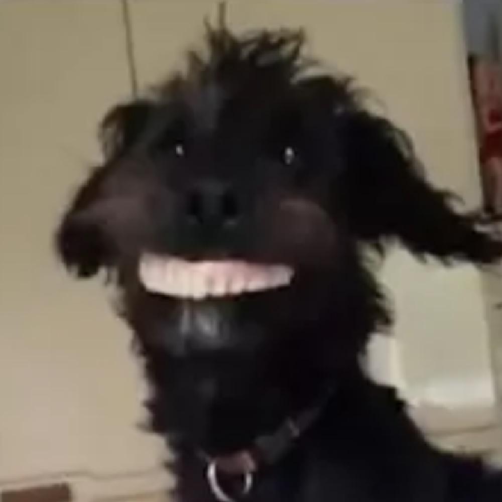 Milo lo Jackapoo ruba la dentiera e fa impazzire la rete (VIDEO)