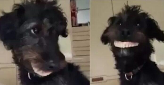 cane jackapoo ruba dentiera casa nonna