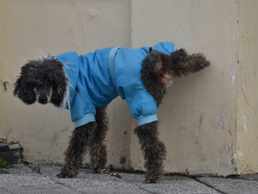 cane che va a passeggio