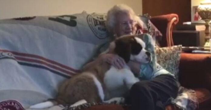 San Bernardo con una signora anziana