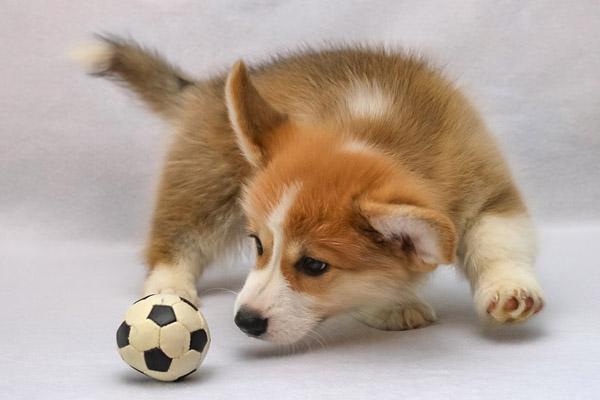 Corgi che gioca con una pallina