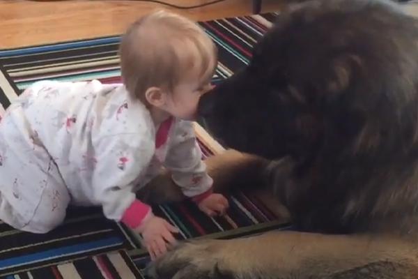 Cane Leonberger gioca con una bambina e il video conquista il web