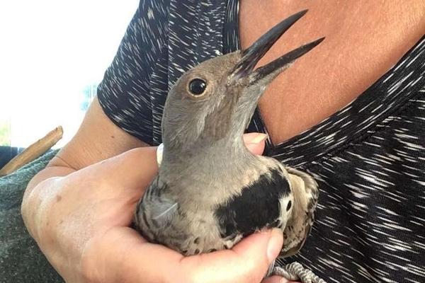 Charlie, il pitbull che ha salvato un uccello ferito