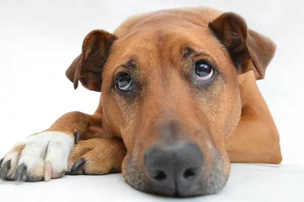 Cane con sguardo triste