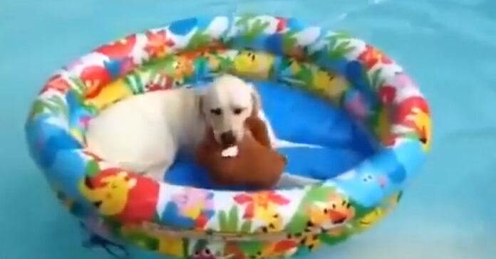 Golden Retriever in piscina