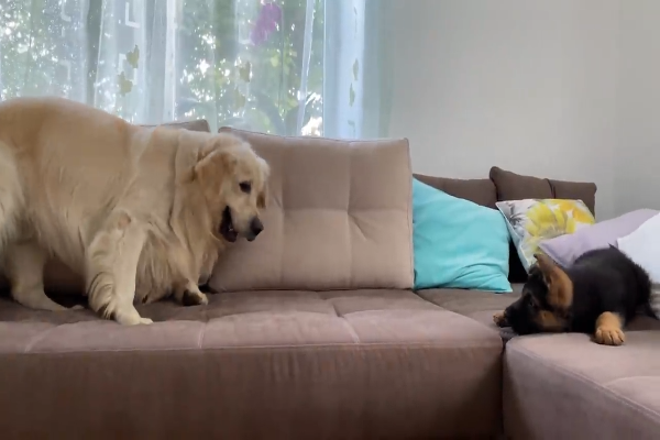 Bailey un Golden Retriever gioca con un Pastore tedesco(VIDEO)