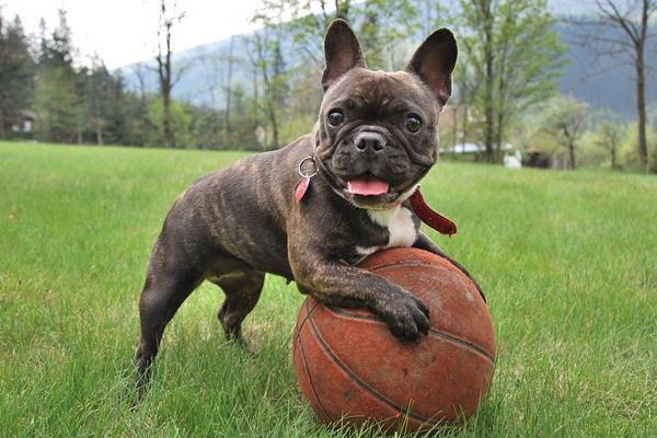 Bulldog che gioca con una palla
