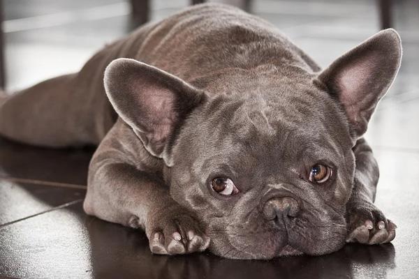 Bulldog che osserva