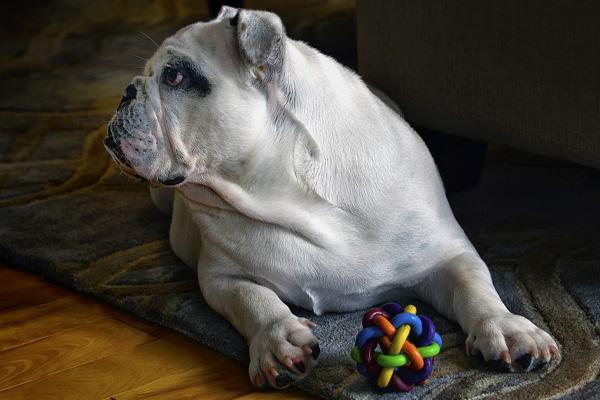 Bulldog che gioca