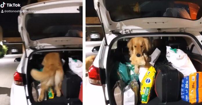 Golden Retriever in una macchina