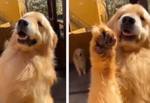 Golden Retriever con la zampa alzata