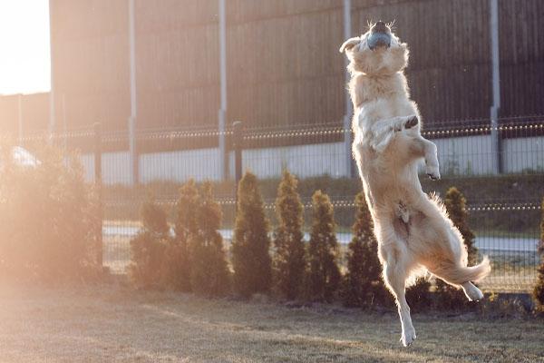 Golden Retriever che salta