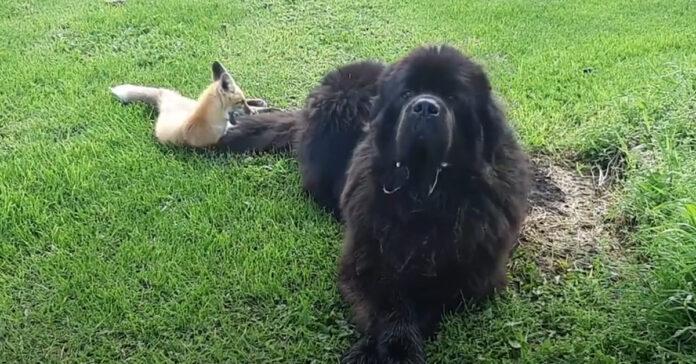 Cane Terranova con una volpe