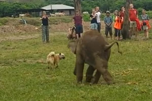 Il cagnolino entra in un parco per elefanti e la reazione dell'elefantino colpisce il web (video)