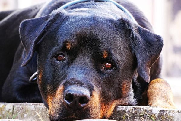 Cane che osserva sdraiato