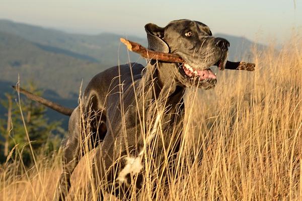 Cane che corre con un legno in bocca