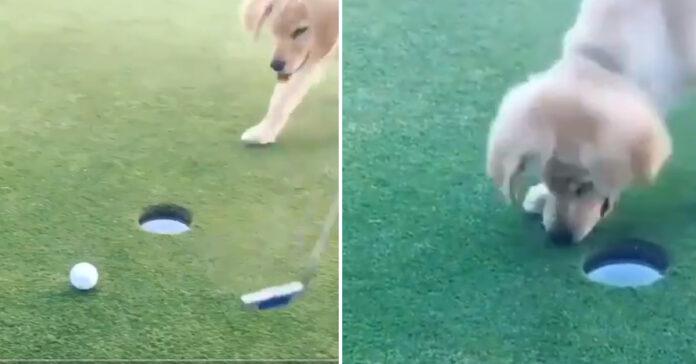 Cucciolo di Golden Retriever gioca a golf