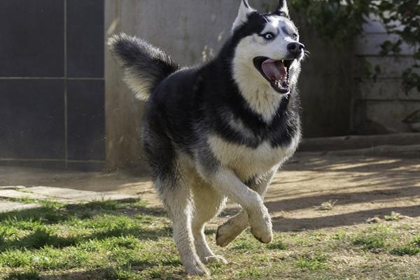 Husky che corre