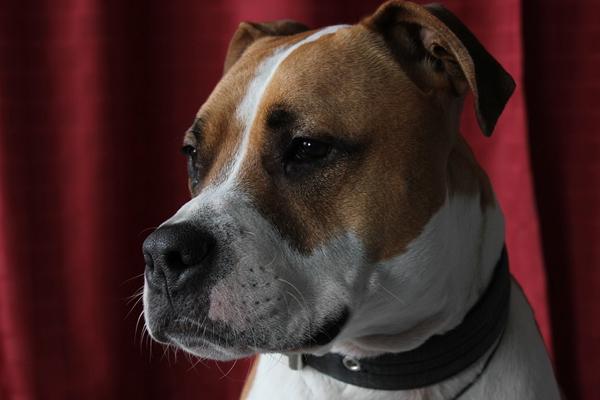 L'abile Pitbull riesce ad aprire la porta per invitare in casa i suoi amici (video)