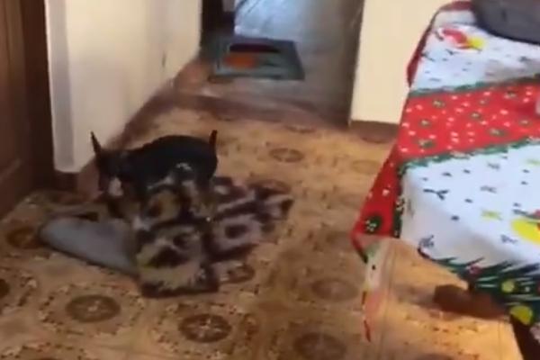 Lili la cagnolina che sposta i tappeti per far passare la sedia a rotelle della nonna (VIDEO)