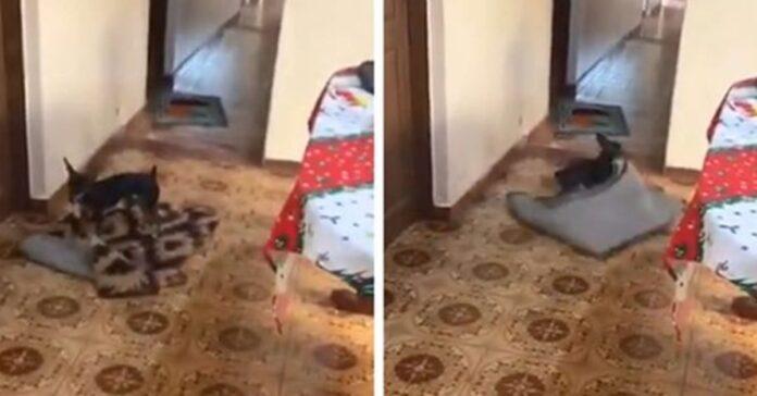 cagnolina sposta il tappeto
