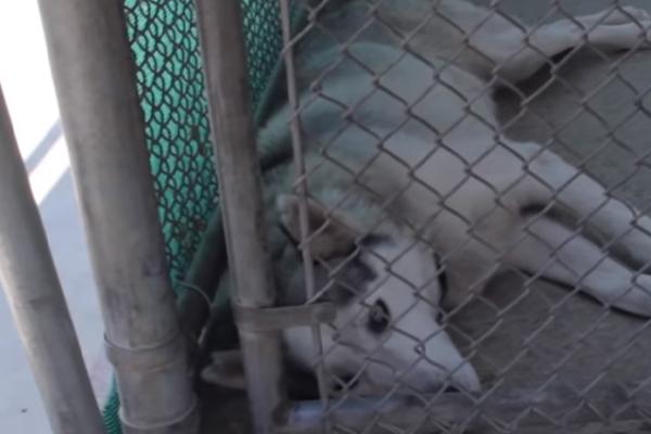 Nate, l'Husky destinato agli esperimenti che dopo il salvataggio ha avuto la sua rinascita (video)