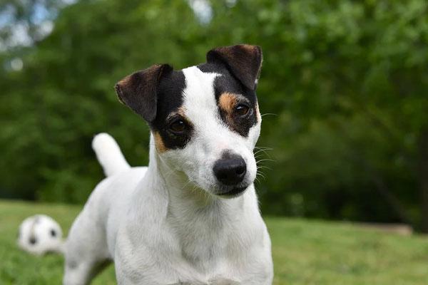 Phoebe, il cagnolino che a Firenze ha aiutato il suo proprietario dopo un ictus