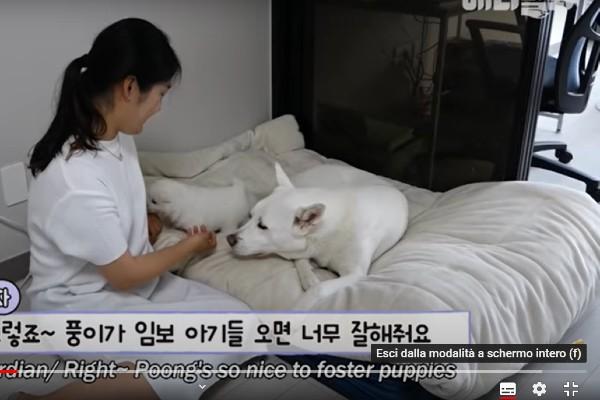 Poong il cane adotta dei cuccioli bellissimi e bianchi come lui(VIDEO)