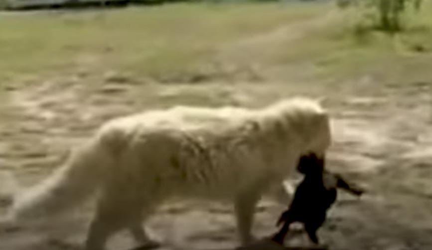Cuccioli di cane rapiti da un gatto per essere finalmente felici - (VIDEO)